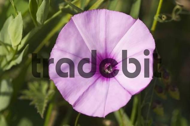 Pink bindweed - Convolvulus althaeoides - La Gomera