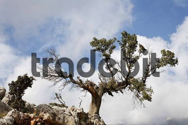old dying holm oak Quercus ilex, Kritsa, Crete, Greece