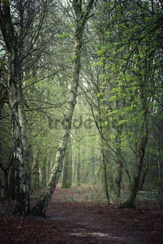 Forest, Haltern am See, Muensterland, North Rhine-Westphalia, Germany, Europe
