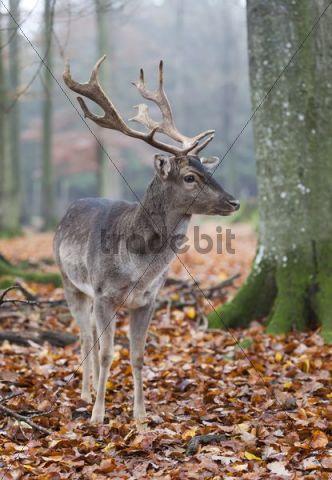 Fallow Deer (Dama dama) buck
