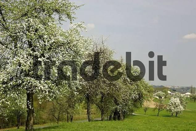 flowering pear trees in the Mostviertel Lower Austria
