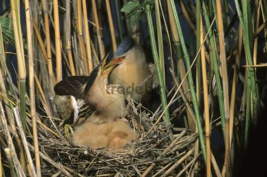 Little bittern (Ixobrychus minutus), male feeding fledglings in the nest, Hortobagy National Park, Hungary, Europe