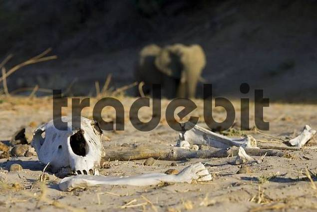 Life and death in the dry river bed of Boteti. Elephant, skull and bones. Makgadikgadi Pan National Park, Botswana, Africa