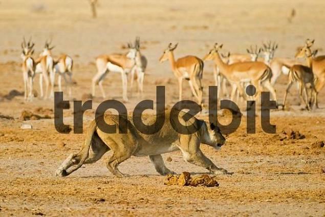 Lion, Lioness Panthera leo is hunting a springbok, Antidorcas marsupialis, Nxai Pan, Makgadikgadi Pan National Park, Botswana, Africa