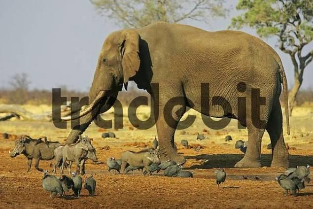 African elephant Loxodonta africana, Guinea fowls Numidinae and warthogs Phacochaerus aethiopicus. Savuti, Chobe National Park, Botswana, Africa