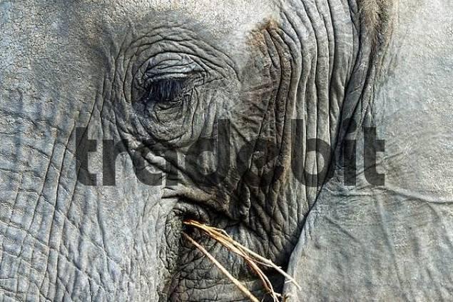 Portrait, African Elephant, Loxodonta africana. Botswana