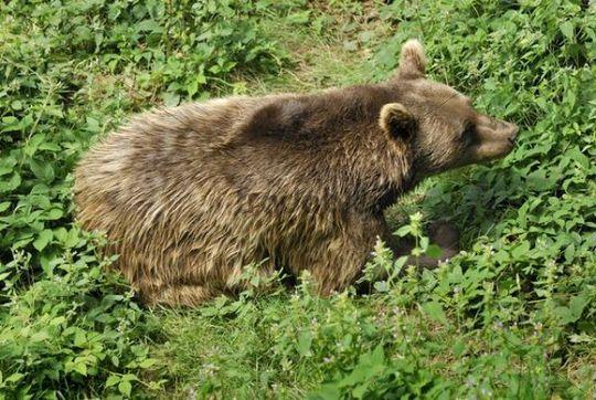 Brown Bear (Ursus arctos arctos), Bavarian Forest National Park, Bavaria, Germany, Europe