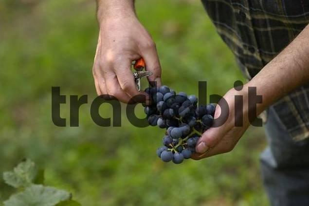 grape harvest in Stuttgart, Baden-Wuerttemberg, Germany
