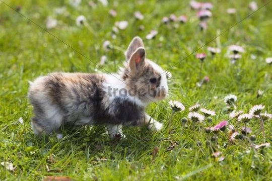 Young Rabbit (Oryctolagus cuniculus forma domestica) on a flowery meadow