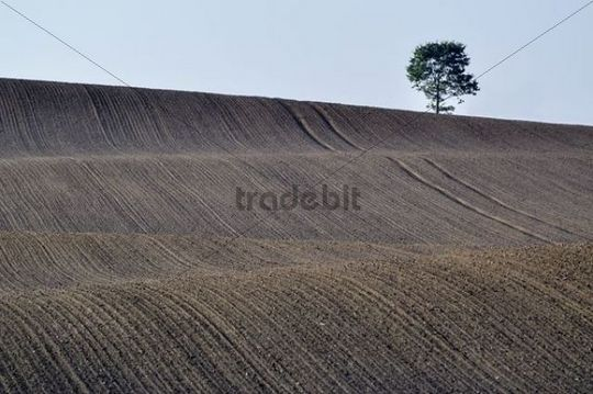 Solitary oak (Quercus robur), in cleared agricultural landscape, Rendsburg-Eckernfoerde, Schleswig-Holstein, Germany, Europe