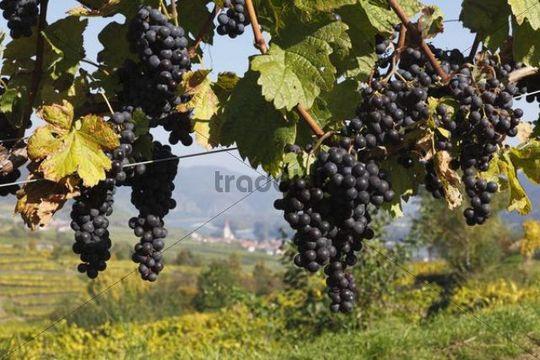 Red grapes on grapevine, Weissenkirchen in the Wachau valley, Waldviertel region, Lower Austria, Austria, Europe
