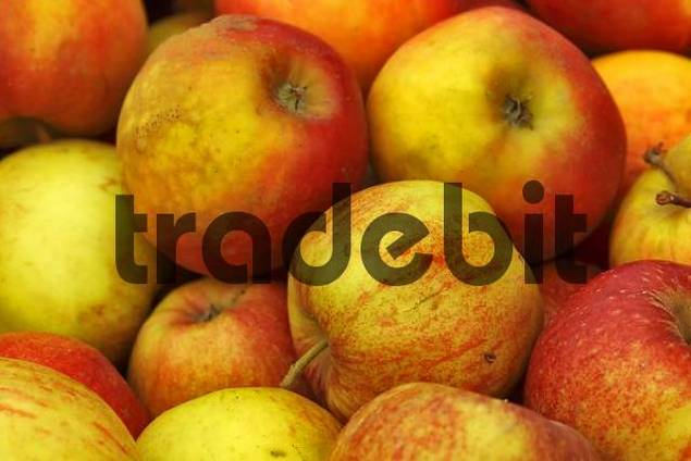 Apple harvest in autumn