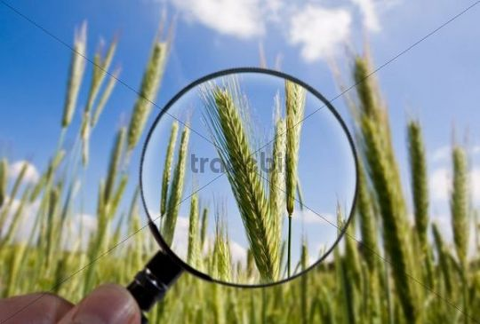 Barley crops are examined under a magnifying glass