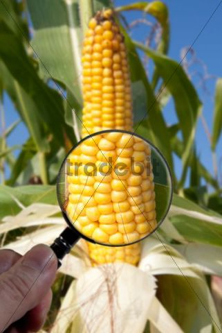 Genetically modified maize or corn is examined under a magnifying glass