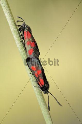 Six-spot Burnet Moths (Zygaena filipendulae) mating