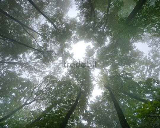 Beech forest in fog, bottom view, Arnstein, Lower Austria, Austria, Europe