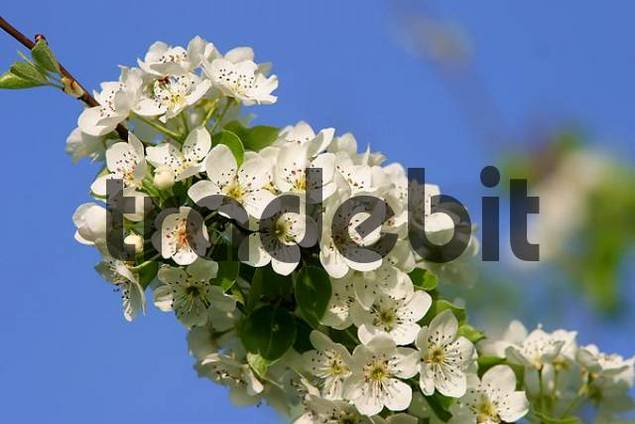 blossoms of a pear tree