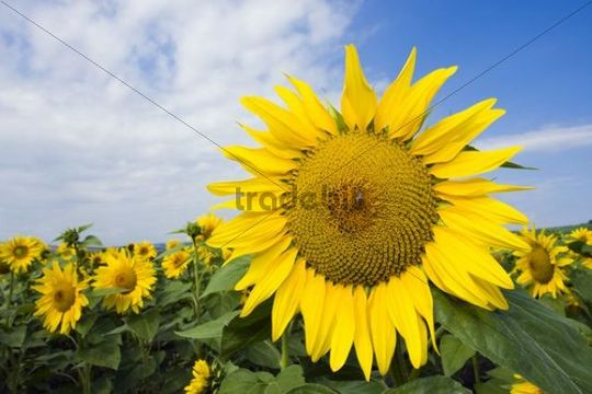 Sunflowers (Helianthus anuus)
