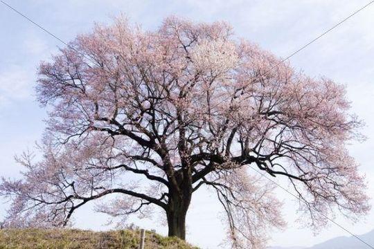 Cherry tree in blossom, Nirasaki, Yamanashi, Japan, Asia