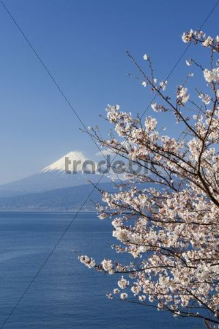 Cherry blossom, Mount Fuji, Fujiyama at back, Japan, Asia