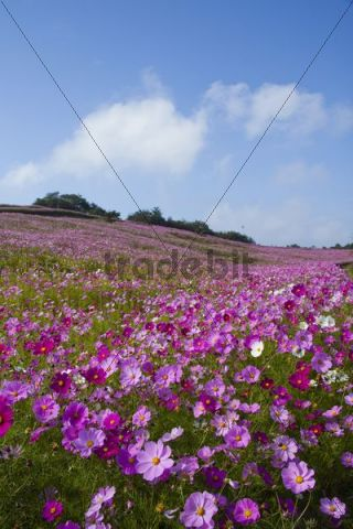 Field of pink cosmos flowers, Nagano, Japan, Asia