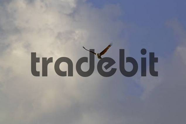 Sea-Eagle Haliaeetus leucogaster, Banjarmasin, South-Kalimantan, Indonesia