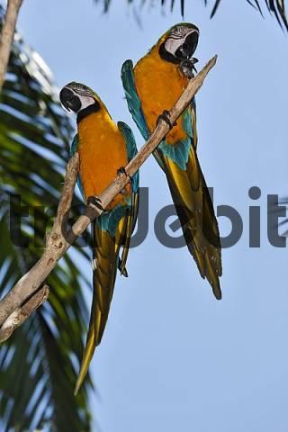 blue and gold macaw Ara ararauna, zoo, Bali, Indonesia