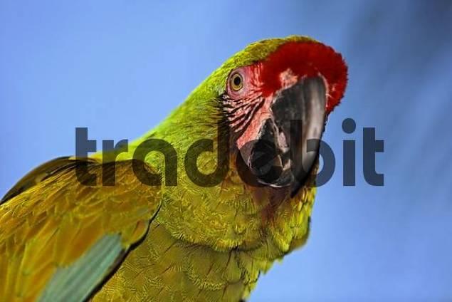 parrot Psittacidae, zoo, Bali, Indonesia