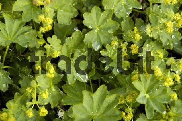 Cluster-flowered Ladys-mantle Alchemilla vulgaris Alchemilla glomerulans Eastgreenland