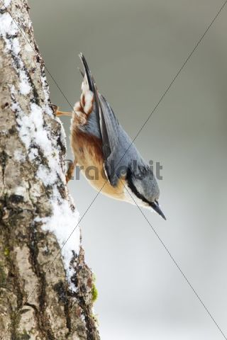 Nuthatch (Sitta europaea) in winter