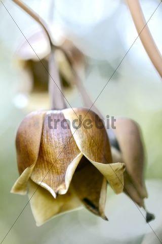 Hawaiian Baby Woodrose (Argyreia nervosa), macro, Kona Coast, Big Island, Hawaii, USA