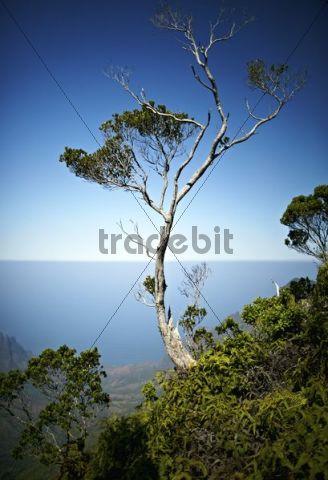 Tree, Koke´e State Park, Kauai, Hawaii, USA
