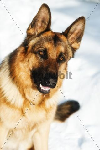 German Shepherd Dog, Alsatian, in snow