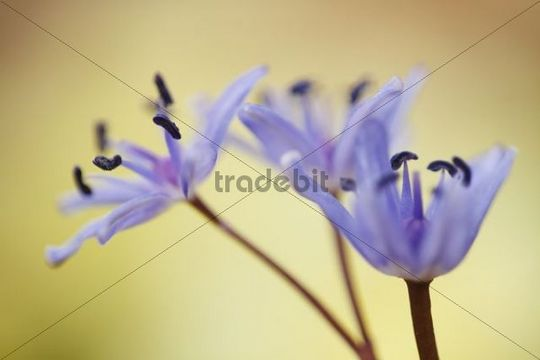 Star Squill or Star Hyacinth (Scilla amoena)