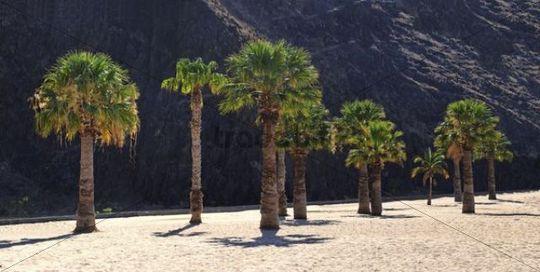 Palm trees on the sandy beach of Playa de las Teresitas, Tenerife, Canary Islands, Spain, Europe