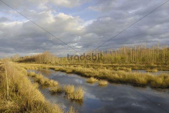 Moor with bulrushes in frozen bog pond, Stammbecken Moor, near Rosenheim, Alp foothills, Bavaria, Germany, Europe