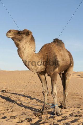 Camel, dromedary (Camelus dromedarius), sand dunes, Sahara desert between Douz and Ksar Ghilane, Southern Tunisia, Tunisia, Maghreb, North Africa, Africa