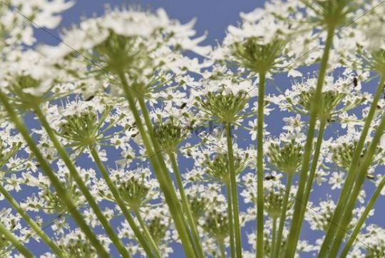 Close-up of Common Hogweed (Heracleum sphondylium), Sweden, Europe