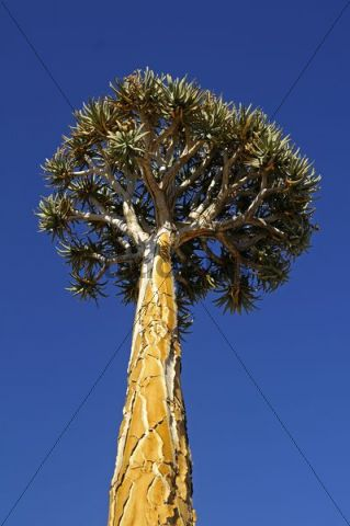Solitary Quiver tree or Kokerboom (Aloe dichotoma), Goegap Nature Reserve, Namaqualand, South Africa, Africa