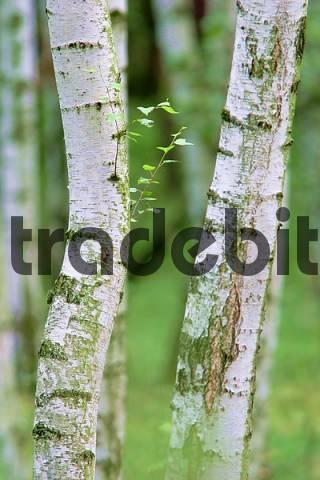 birch trunks, birch forest