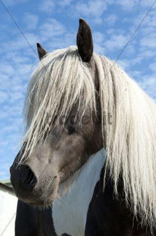 Icelandic Horse, Iceland Pony, blonde mane, portrait, Húsavík, Iceland, Scandinavia, Northern Europe, Europe