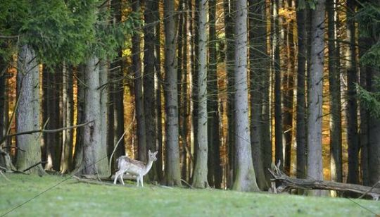 Fallow Deer (Dama dama), Sparbach Nature Park, Vienna Forest, Lower Austria, Austria, Europe