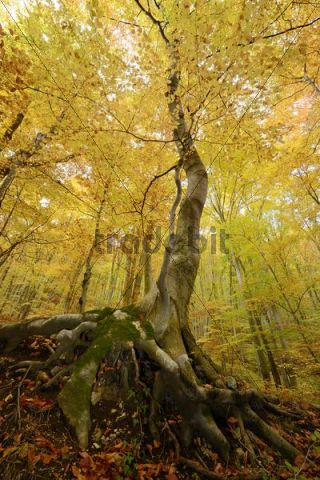 Autumn beech forest below the ruins of Rauheneck Castle, Baden, Lower Austria, Austria, Europe