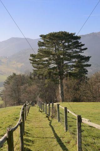 Black Pine, Rehgras, hiking trail on Hocheck Mountain, Triestingtal, Lower Austria, Austria, Europe