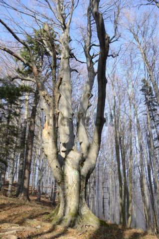 Beech, natural monument on the hiking trail on Hocheck Mountain, Triestingtal, Lower Austria, Austria, Europe