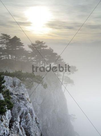 Black Pines (Pinus nigra) in a foggy atmosphere, Peilstein, Triestingtal, Lower Austria, Austria, Europe
