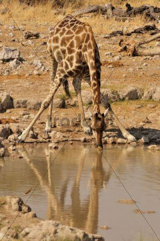 Giraffe (Giraffa camelopardalis) at the water hole of Klein-Okevi, Etosha National Park, Namibia, Africa