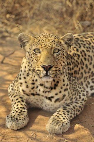 Leopard (Panthera pardus) in the Kgalagadi Transfrontier Park, Kalahari, South Africa, Africa