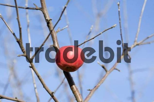 a lonesome apple on a defoliated apple tree