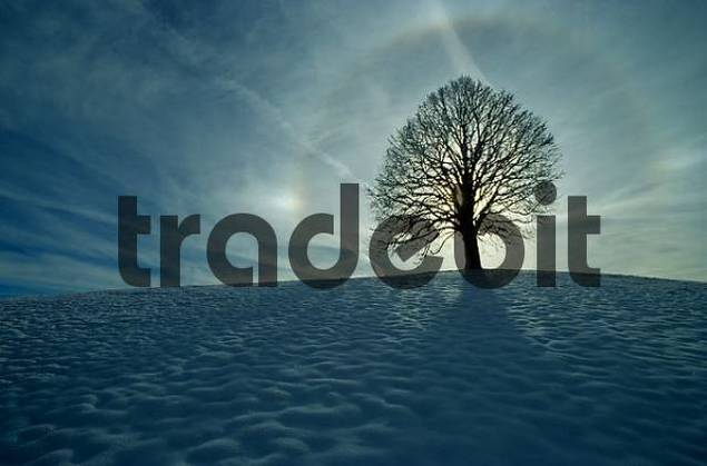 winter tree, linden tree with aura